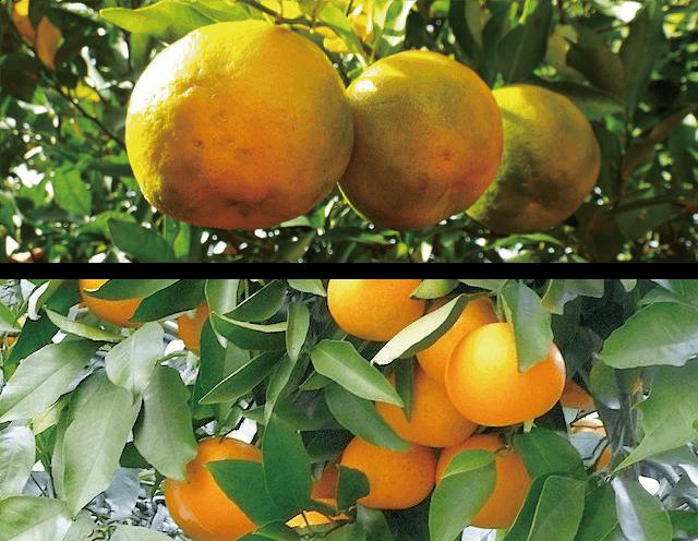 ベルガモット オレンジ アロマ