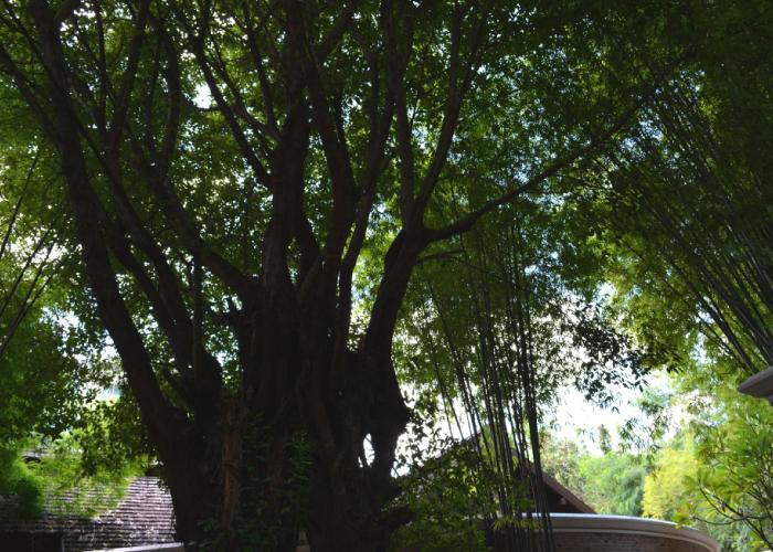 タイの木と建物